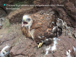 Птенец курганника центральноазиатского (Buteo hemilasicus)