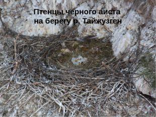 Птенцы черного аиста на берегу р. Тайжузген