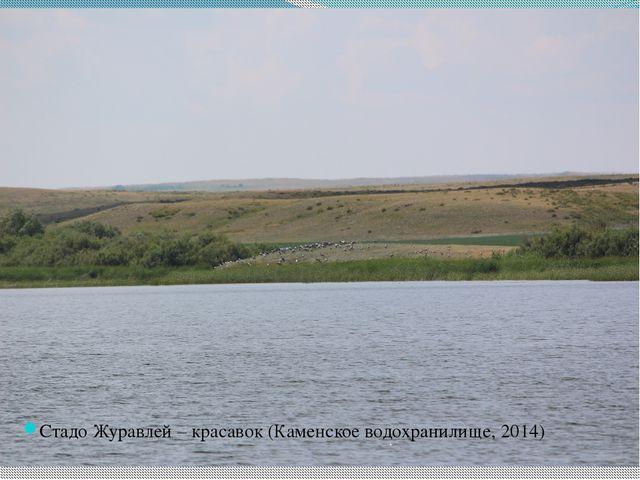Стадо Журавлей – красавок (Каменское водохранилище, 2014)