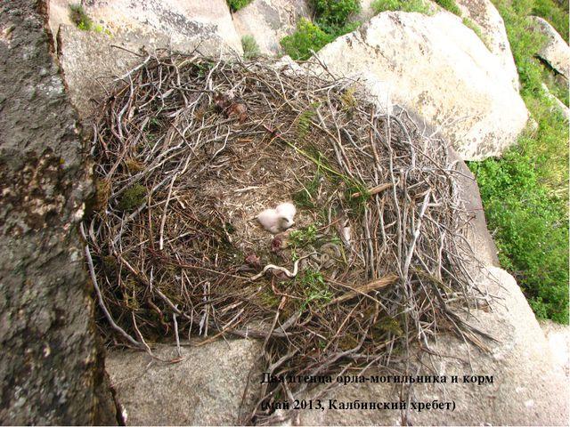 Два птенца орла-могильника и корм (май 2013, Калбинский хребет)