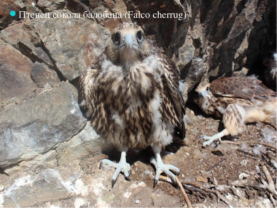 Птенец сокола балобана (Falco cherrug)