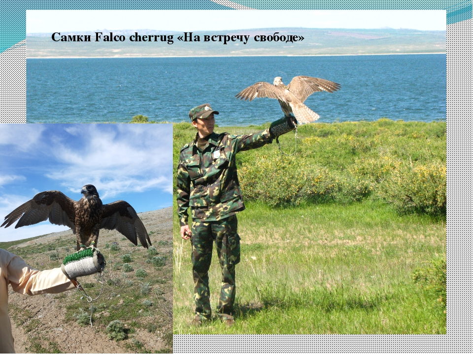 Самки Falco cherrug «На встречу свободе»