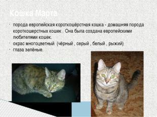 порода европейская короткошёрстная кошка - домашняя порода короткошерстных ко