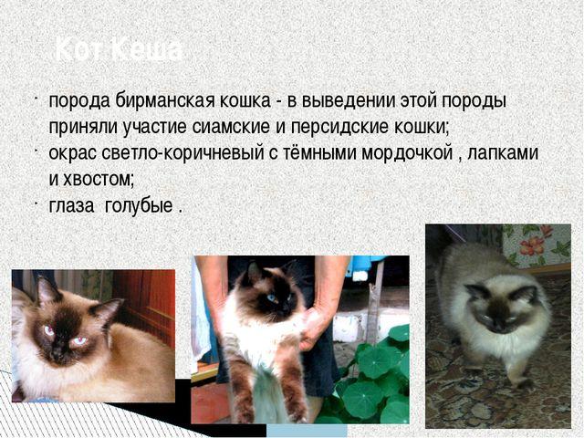порода бирманская кошка - в выведении этой породы приняли участие сиамские и...