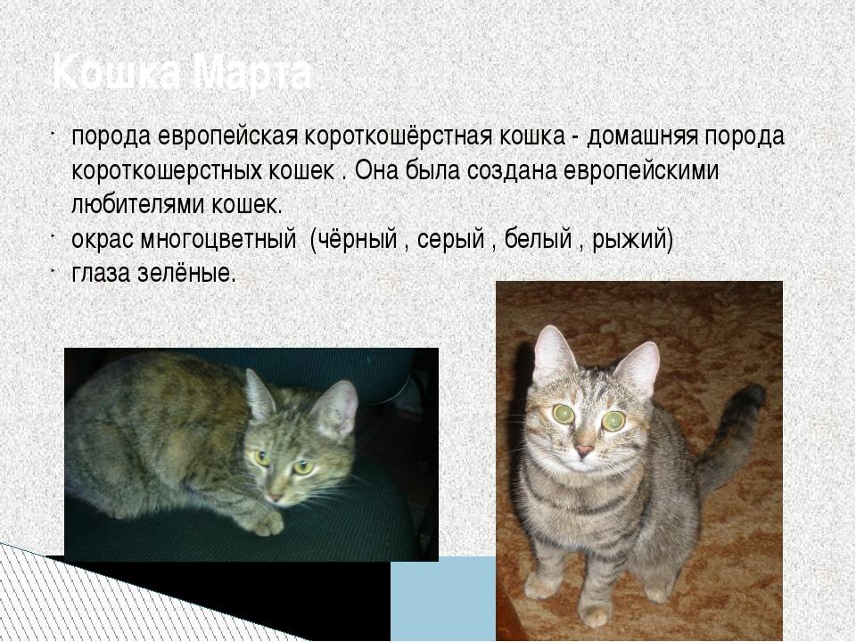 порода европейская короткошёрстная кошка - домашняя порода короткошерстных ко...