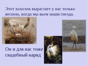 Этот хохолок вырастает у нас только весною, когда мы вьем наши гнезда. Он и