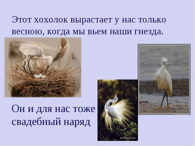 Этот хохолок вырастает у нас только весною, когда мы вьем наши гнезда. Он и...