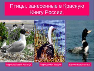 Птицы, занесенные в Красную Книгу России. Черноголовый хохотун Чернозобая гаг