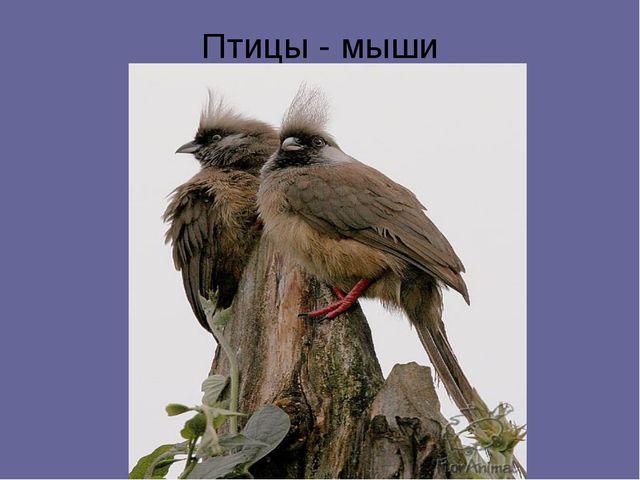 Птицы - мыши