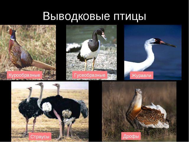 Выводковые птицы Курообразные Гусеобразные Журавли Страусы Дрофы