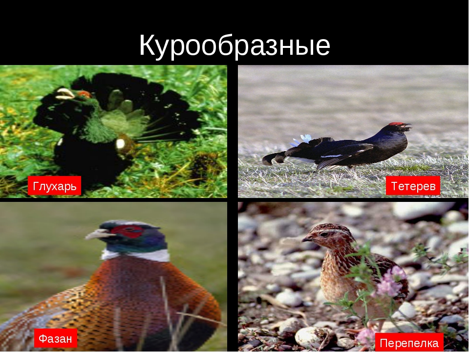 Курообразные Глухарь Тетерев Перепелка Фазан