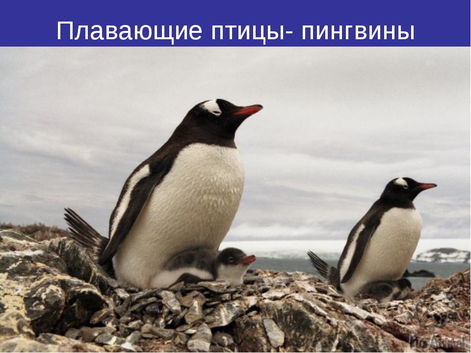 Плавающие птицы- пингвины