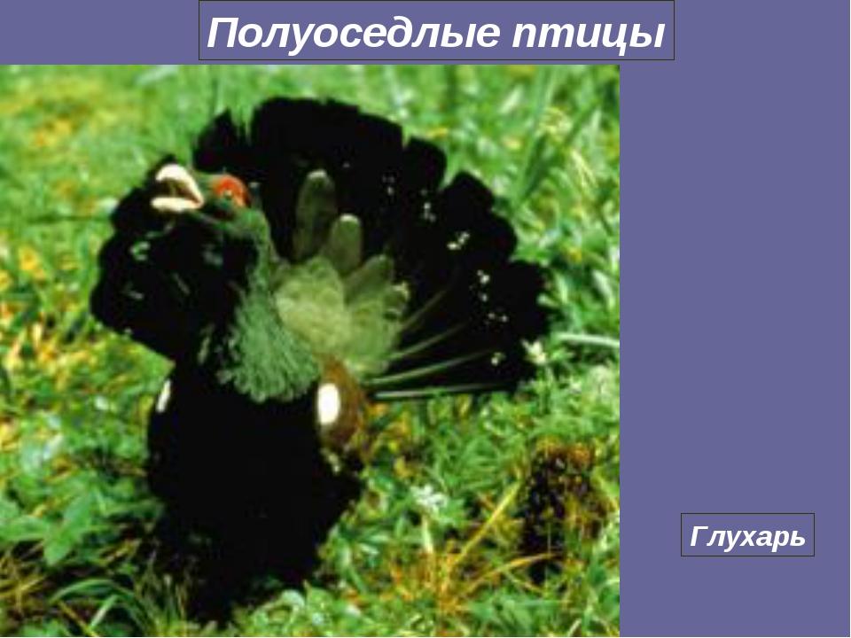 Глухарь Полуоседлые птицы