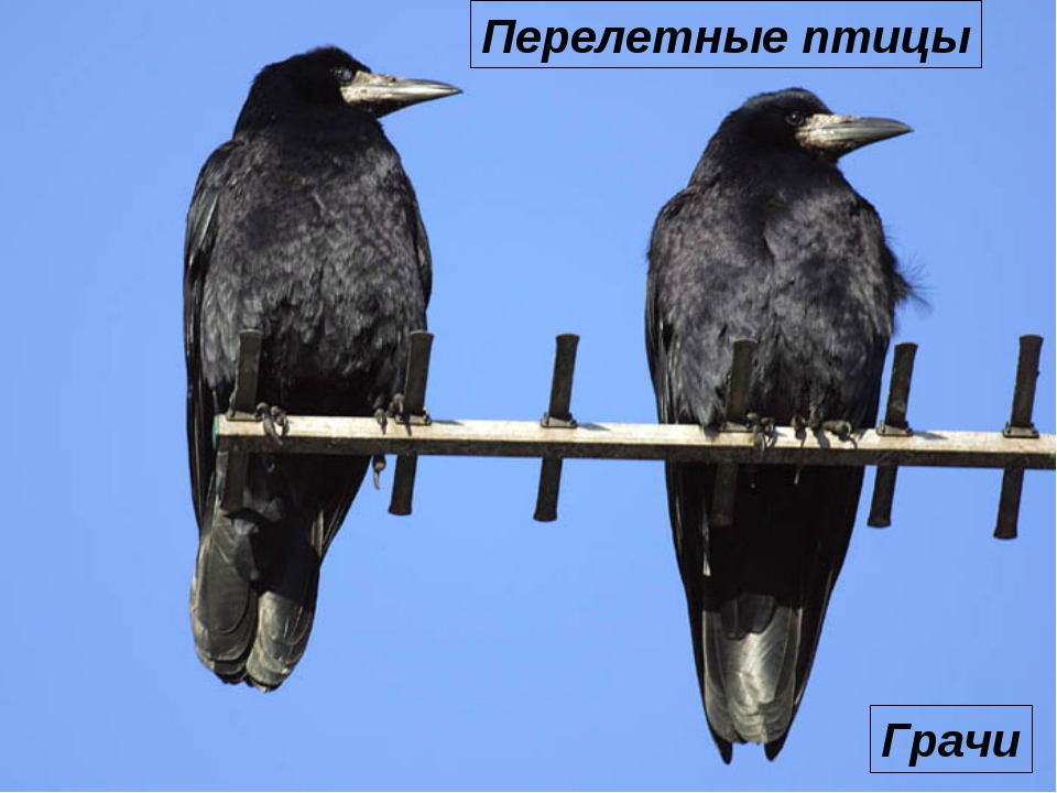 Грачи Перелетные птицы