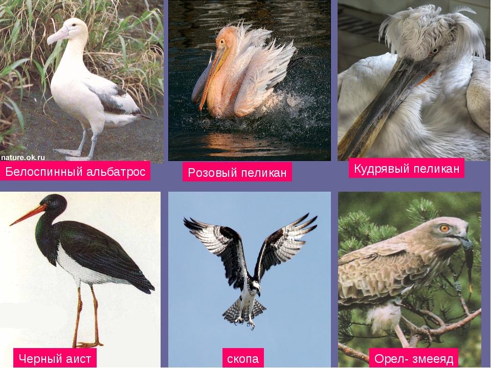Белоспинный альбатрос Розовый пеликан Кудрявый пеликан Черный аист скопа Орел...