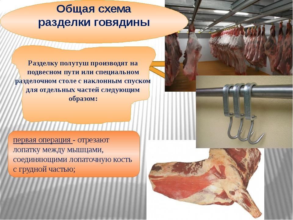 Общая схема разделки говядины первая операция - отрезают лопатку между мышца...