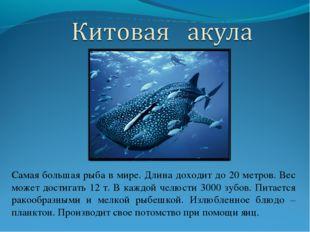 Самая большая рыба в мире. Длина доходит до 20 метров. Вес может достигать 12