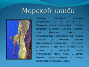 Размеры морских коньков составляют от 2 до 20 см. Прикрепляются хвостами к ст