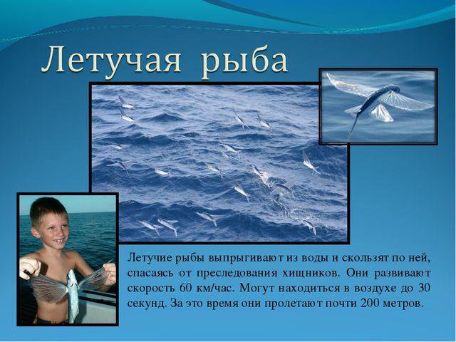 Летучие рыбы выпрыгивают из воды и скользят по ней, спасаясь от преследования...