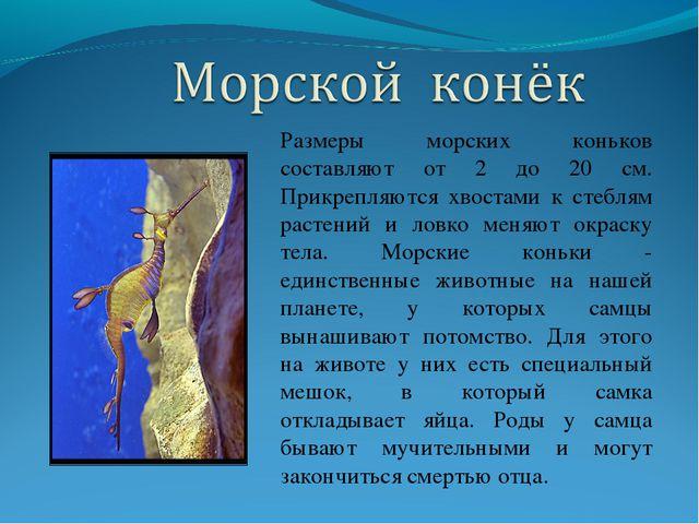Размеры морских коньков составляют от 2 до 20 см. Прикрепляются хвостами к ст...