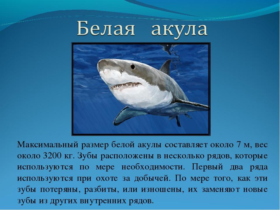 Максимальный размер белой акулы составляет около 7 м, вес около 3200 кг. Зубы...