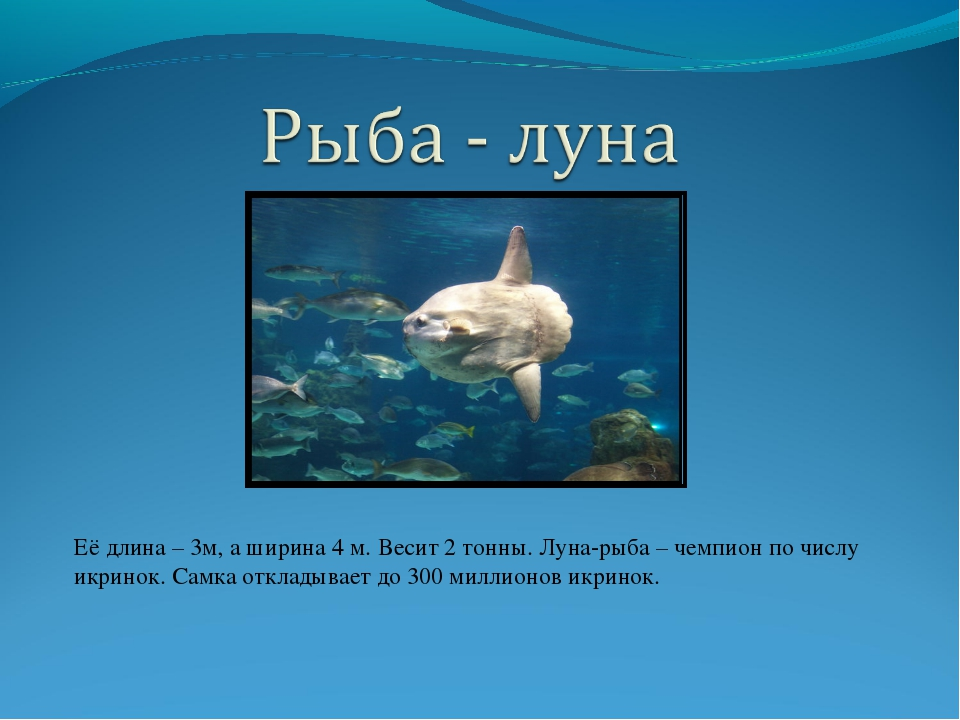 Её длина – 3м, а ширина 4 м. Весит 2 тонны. Луна-рыба – чемпион по числу икри...
