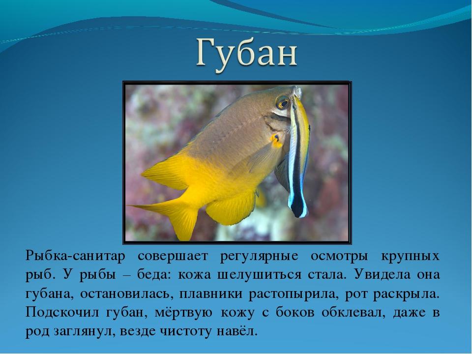 Рыбка-санитар совершает регулярные осмотры крупных рыб. У рыбы – беда: кожа ш...