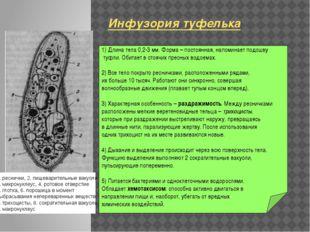1) Длина тела 0,2-3 мм. Форма – постоянная, напоминает подошву туфли. Обитае