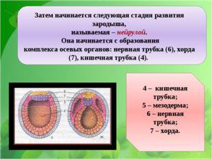 Ё Затем начинается следующая стадия развития зародыша, называемая – нейрулой.