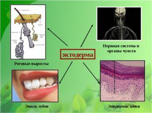 эктодерма Нервная система и органы чувств Эмаль зубов Эпидермис кожи Роговые