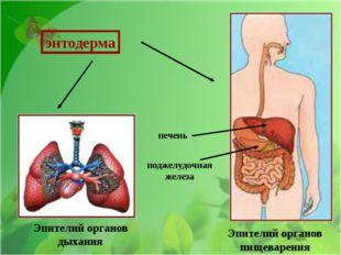 Эпителий органов дыхания Эпителий органов пищеварения поджелудочная железа п
