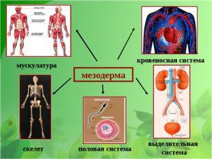 мезодерма мускулатура кровеносная система скелет половая система выделительн