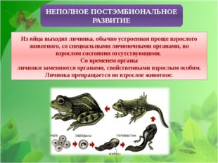 НЕПОЛНОЕ ПОСТЭМБИОНАЛЬНОЕ РАЗВИТИЕ Из яйца выходит личинка, обычно устроенна