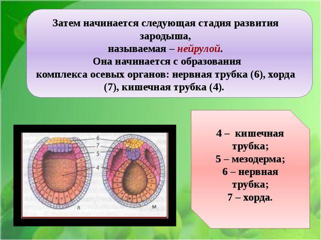Ё Затем начинается следующая стадия развития зародыша, называемая – нейрулой....
