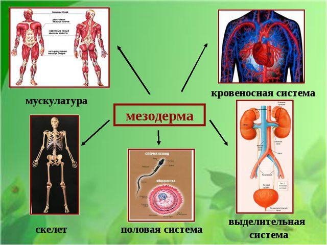 мезодерма мускулатура кровеносная система скелет половая система выделительн...