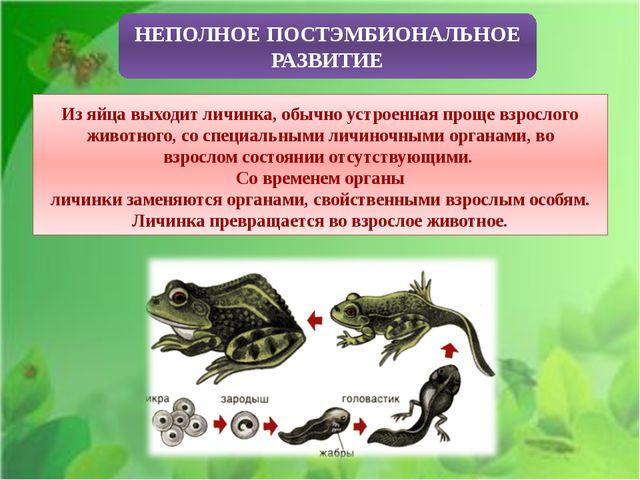 НЕПОЛНОЕ ПОСТЭМБИОНАЛЬНОЕ РАЗВИТИЕ Из яйца выходит личинка, обычно устроенна...