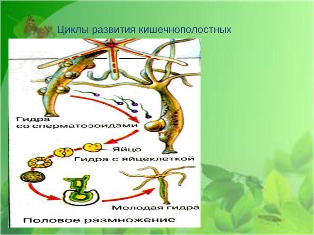 Циклы развития кишечнополостных