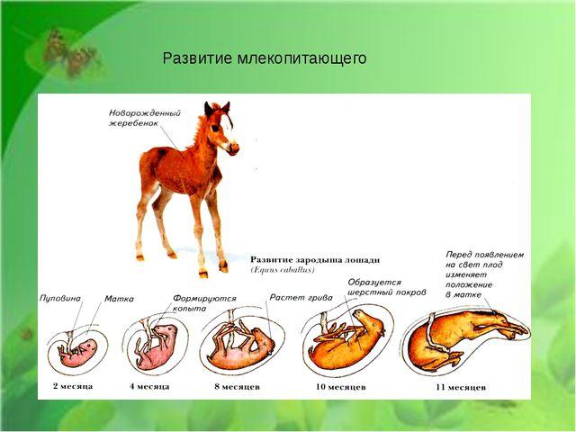 Развитие млекопитающего