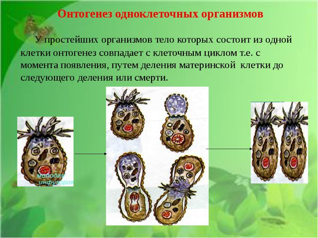 Онтогенез одноклеточных организмов У простейших организмов тело которых сост...