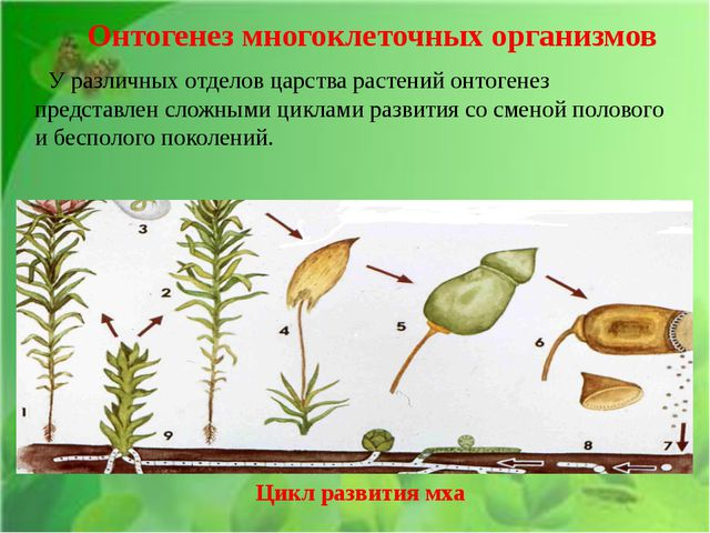 У различных отделов царства растений онтогенез представлен сложными циклами...
