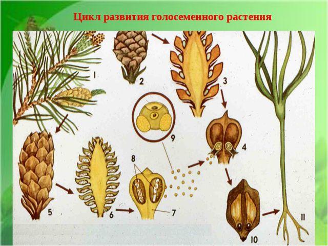 Цикл развития голосеменного растения