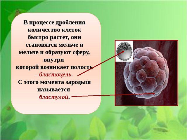 В процессе дробления количество клеток быстро растет, они становятся мельче...