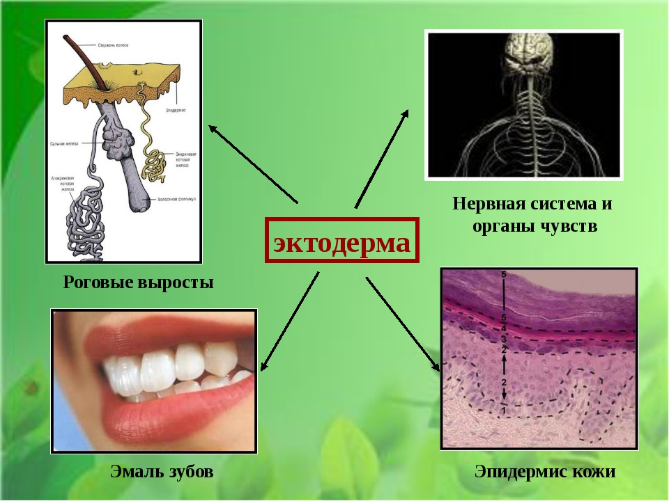 эктодерма Нервная система и органы чувств Эмаль зубов Эпидермис кожи Роговые...