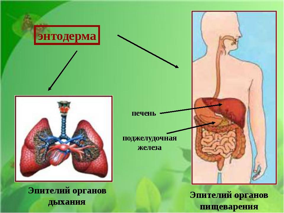 Эпителий органов дыхания Эпителий органов пищеварения поджелудочная железа п...