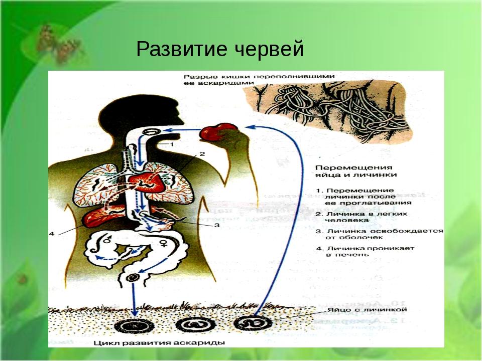 Развитие червей