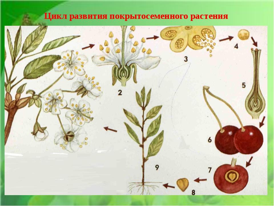 Цикл развития покрытосеменного растения