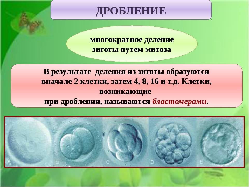 многократное деление зиготы путем митоза ДРОБЛЕНИЕ В результате деления из з...