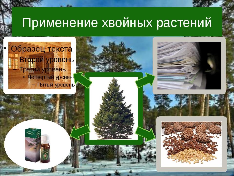 Применение хвойных растений