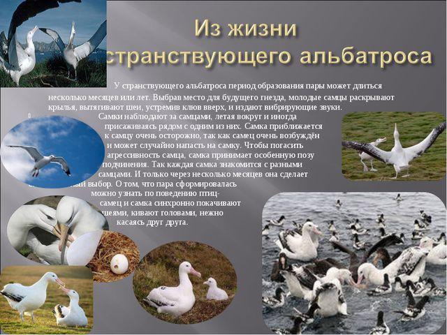 У странствующего альбатроса период образования пары может длиться несколько...