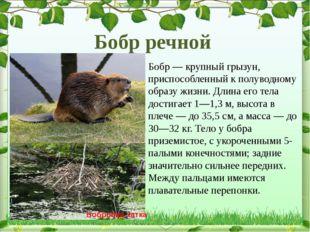 Бобр— крупный грызун, приспособленный к полуводному образу жизни. Длина его